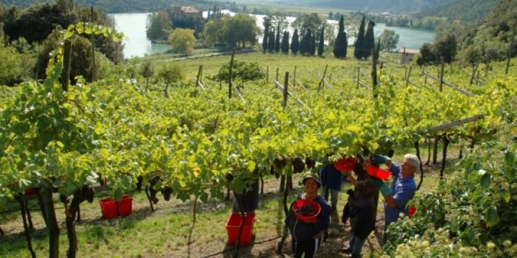 Il Piano Pedron per rilanciare la viticoltura in Trentino