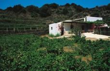 L'alberello di Pantelleria candidato all'Unesco