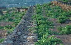 Pantelleria, una vendemmia difficile