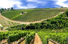 Il vigneto siciliano dimagrisce: siamo sotto i 100 mila ettari