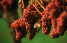 Wine trends, un vino, una tendenza. il Gewürztraminer