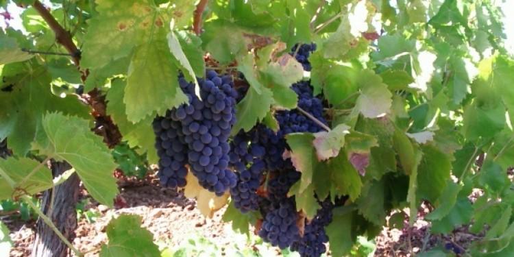 Un Nero d'Avola vinificato in bianco da Riccardo Cotarella per Morgante