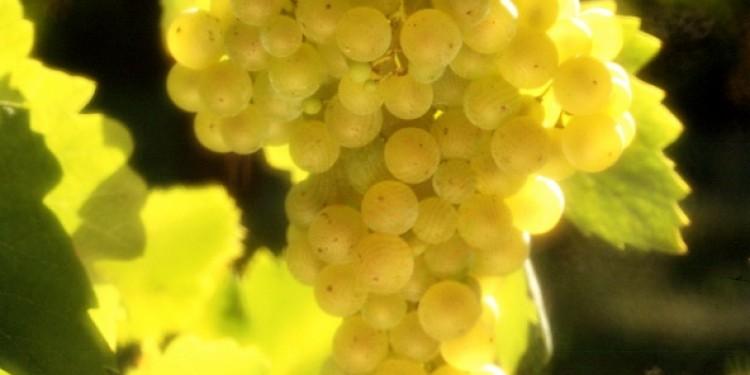 Il Consorzio Conegliano Valdobbiadenene presenta un protocollo per la viticoltura sostenibile