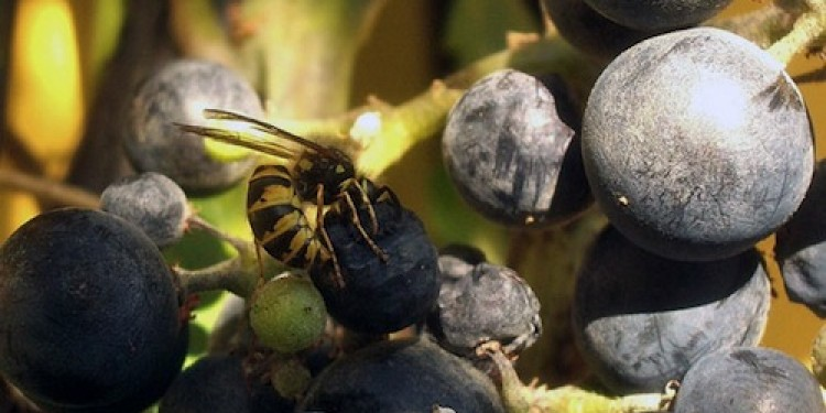 """Vespe """"custodi"""" del lievito del vino. Lo dice l'ultima ricerca Fondazione Mach"""