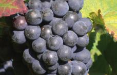 Pinot nero d'Italia. Quello d'Oltrepo elegante e potente