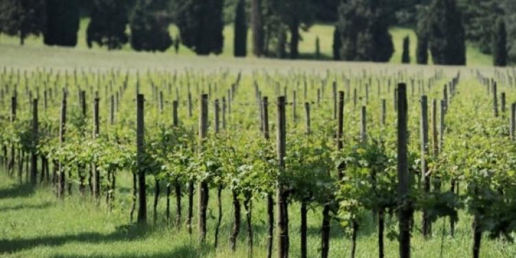 Pinot nero d'Italia. Quello di Franciacorta fresco e persistente