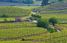 Pinot nero d'Italia. Nel Soave morbido e quasi dolce