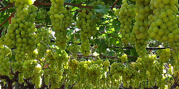 Produzione vitivinicola 2013: la nota dell'Oiv