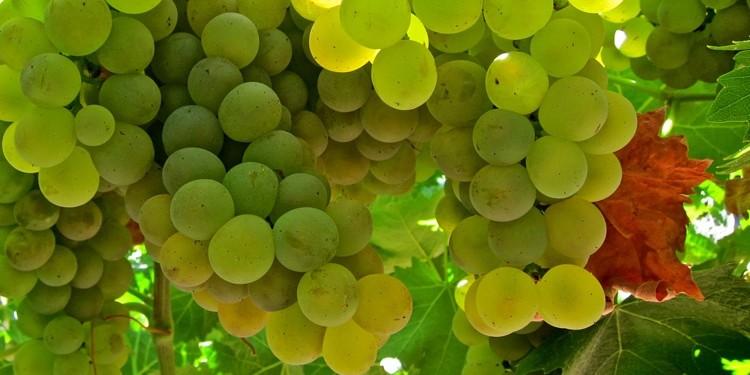 A Vinitaly il Vermentino racconta la Sardegna