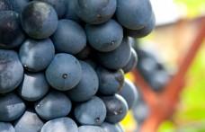 Quali vitigni entreranno nella Hall of fame?