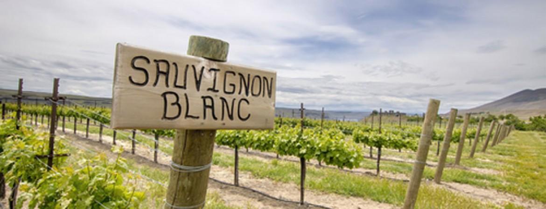 Sauvignon, il vitigno giramondo