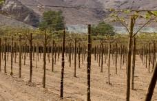 Il vino del deserto. Nel nord del Cile si sperimenta