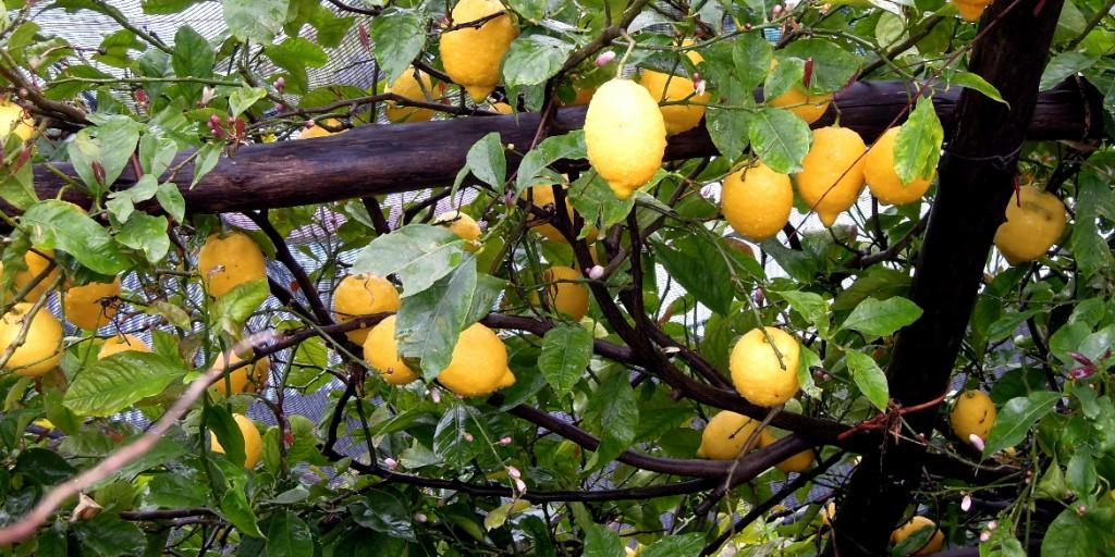 Limone costa d 39 amalfi buono dal succo alla buccia for Coltivare limoni