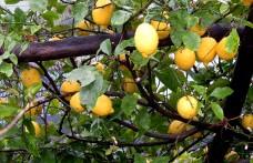 Limone Costa d'Amalfi, buono dal succo alla buccia