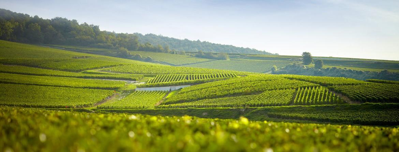 Nuovi vitigni resistenti in Champagne