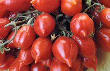 Pomodorino del piennolo: il sole del Vesuvio in bocca
