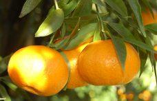 Mandarino Tardivo di Ciaculli, capolavoro della natura