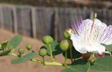 Il cappero in cucina: dal fiore al frutto