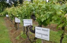 Riscoperto in Guascogna il vitigno autoctono Tardif