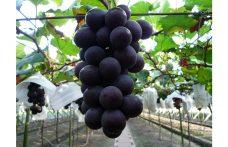 Kyoho, il vitigno più diffuso al mondo