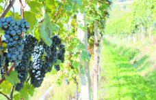 100% Pignola nera per il Metodo Classico della Valtellina