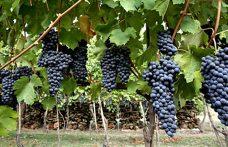 Uva Longanesi: fresca la Blu, d'impegno la Nera