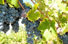 Il Negretto dà vini di rustica piacevolezza