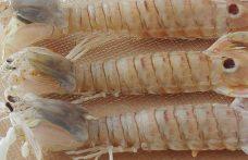 Canocchia o cicala, la  preferita dagli chef