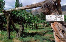 Il futuro dell'Argentina è nei vini da uve creole?
