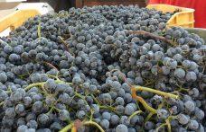 Marsigliese, raro vitigno dal colore impenetrabile