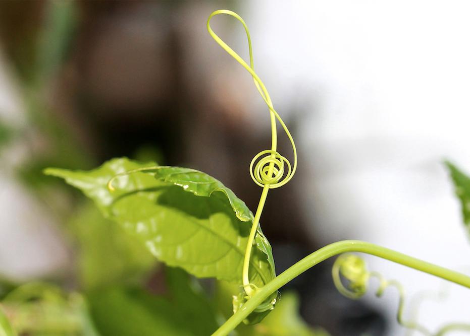 I viticci hanno una sensibilità tale che permette loro di orientarsi verso pali, fili o altri sostegni (foto di I.Ilyés - Pixabay)