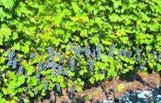 Quali sono i vitigni più richiesti sul mercato delle barbatelle