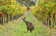 Australia: un mercato a due facce