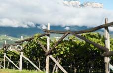 Il riscatto della Schiava, vitigno dell'Alto Adige