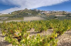 La peronospora a Jerez tra i vigneti dello Sherry