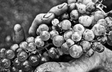 Il futuro dei vitigni resistenti in vivaio