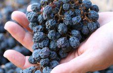 Appassimento in pianta o in fruttaio? Questo è il dilemma