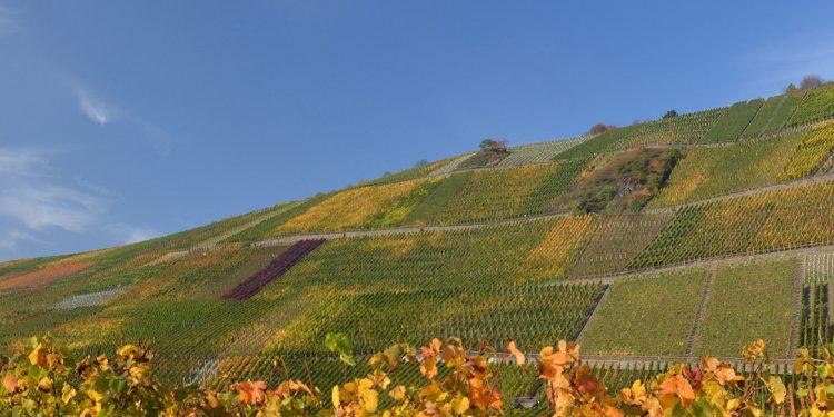 Pinot nero in Germania, la lunga strada della qualità