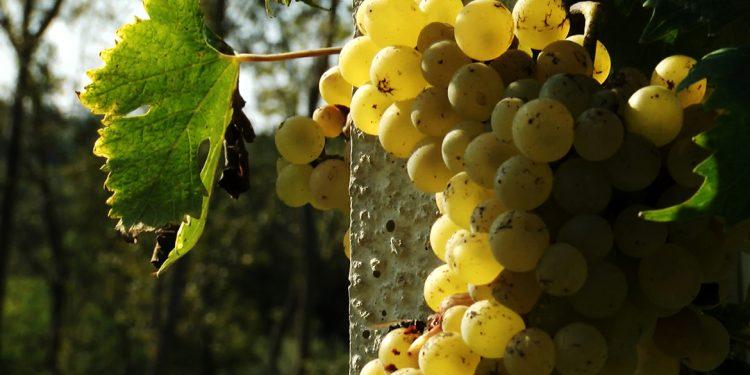 La rinascita della Nascetta, Sauternes piemontese