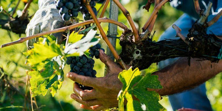Cala la produzione vinicola 2017 nel mondo. I dati Oiv