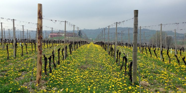 Biodiversità in vigna: a cosa serve (e perché continuiamo a studiarla)