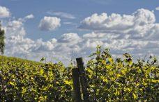L'uva Turca, una rarità tutta trentina