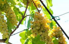La seconda vita dell'uva Alionza