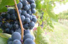 Uva della Cascina: dimenticata dai vivai, riscoperta in Oltrepò