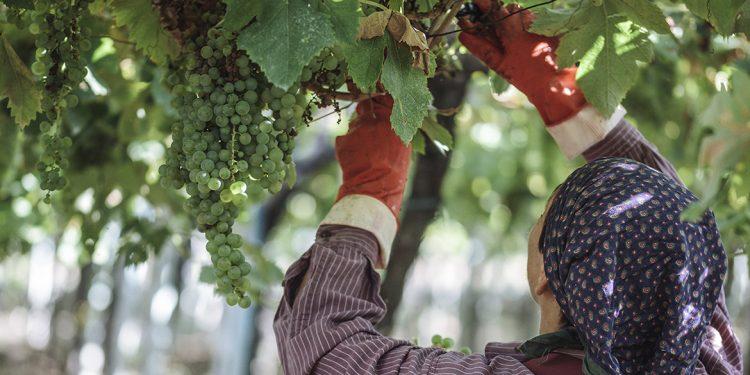 Un viaggio a Orsogna, capitale del vino biologico