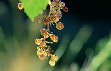 Picolit: un passito per natura
