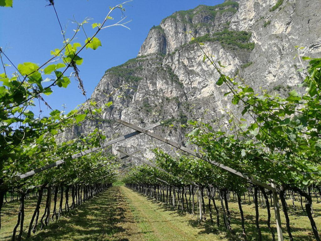 La vigna di Pinot grigio Musivum in Vicinia, sotto il Monte di Mezzocorona