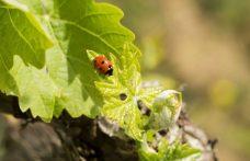 La viticoltura sostenibile è davvero sostenibile?