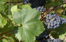 """Le uve """"minori"""" esaltano il Gragnano"""