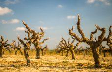 La vite può combattere il cambiamento climatico